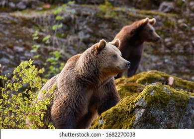 Group of  Brown bears, Ursus arctos, mother with  older cub in autumn european forest. Bear with cub on rock, covered in moss, looking to right.  Typical mountain environment, autumn.  Slovakia