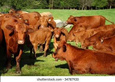 group of brown cow in the green meadow