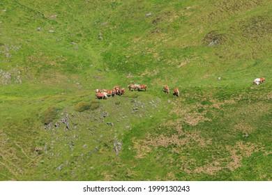 Grupo de caballos marrones en libre pastoreo en campo verde