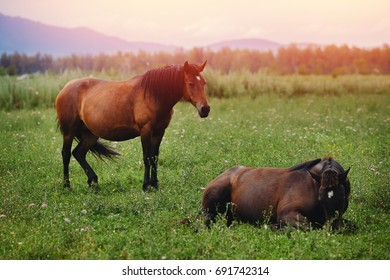 group of brown horses grazes on a meadow, stands and looks out into the distance, a glare of the sun and light from the sunrise. Concept village and farming ecological farmers