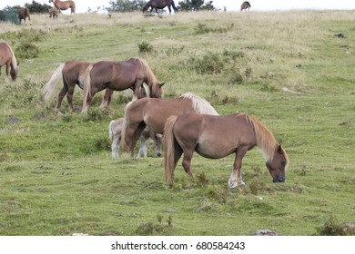 Group of brown mature Pottoka horses in diagonal formation (Jaizkibel,Guipuzcoa, Spain).