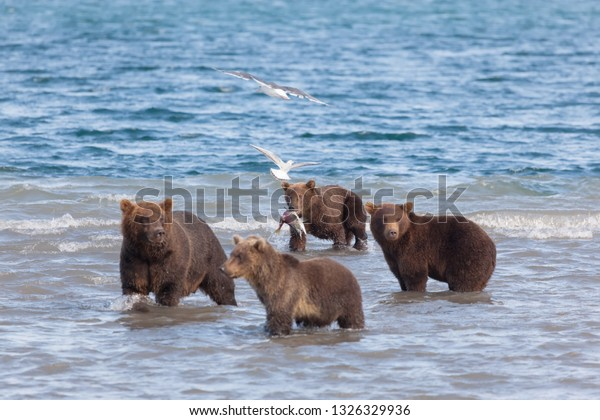 Group of brown wild bears fishing in Kuril lake. Back view of bear. kronotsky nature reserve. Kamchatka. Russia.
