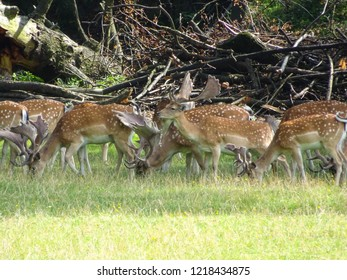 group of bucks (young fallow deer or dama dama in latin) feeding on grass in forest of Central Europe (Czech Republic)