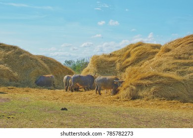 A group of Buffalo eating dry stack straw. Asian buffalo and a dry straw and cloud on the sky in background.