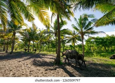 Group of buffalo near Labuan Haji port, Lombok, Indonesia.
