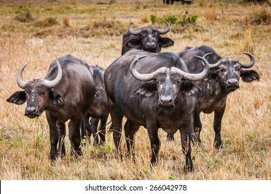 Group of buffalos in Kenya, Africa