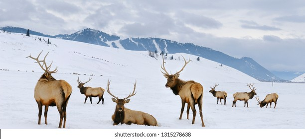 Group of bull Elk with antlers at the National Elk Refuge in Wyoming in winter with Snow King ski resort