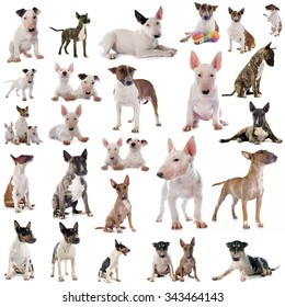 group of bull terriers in front of white background