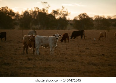 Group of bulls and cows in the countryside.