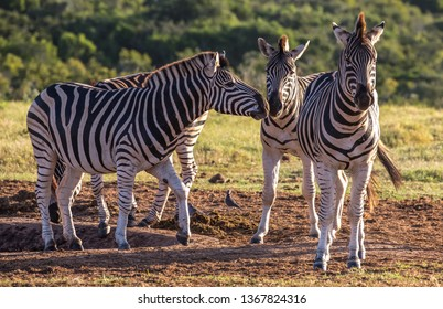 A group of Burchell's zebra in South Africa