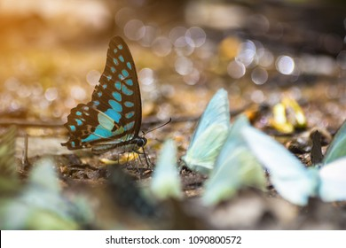 Group of butterflies puddling on the ground and flying in nature, Thailand Butterflies swarm eats minerals in Ban Krang Camp, Kaeng Krachan National Park at Thailand