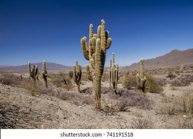 Group of cacti, Los Cardones National Park, Salta,Argentina