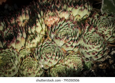 Group of California cacti.