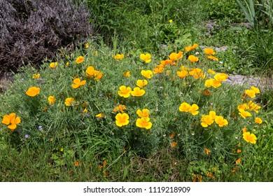 Group of California poppy flowers (Eschscholzia californica)