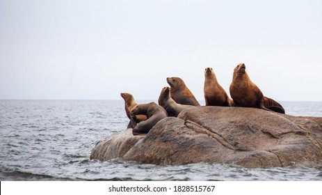 A group of California Sea Lions sit on a rock close to the Pacific Ocean guarding their territory. Taken off the Sunshine Coast of British Columbia.