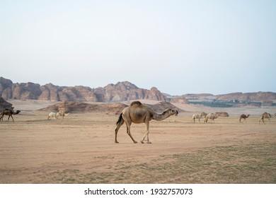 "Group of Camels in the Desert of ""Al Ola"" Al Ula, Saudi Arabia. Al Ola is Part of Madinah Province in Western Saudi Arabia"