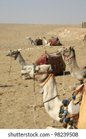 a group of camels at the great pyramids at Giza Egypt await riders to take them into the desert.