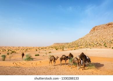 Group of camels in the Sahara Desert near Douz, Tunisia