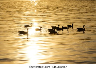 Group of Canada Geese Branta Canadensis swimming in golden evening light