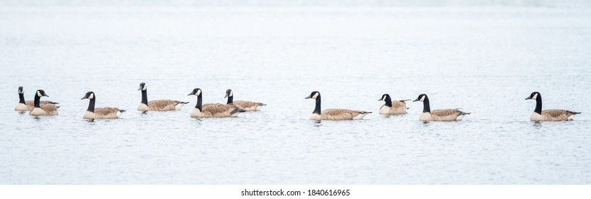 A group of Canada Geese swimming in a lake