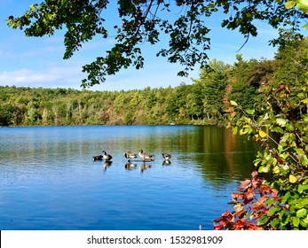 A group of canada geese swimming on the lake in early autumn in Burr pond state park new england connecticut United States on a sunny day.