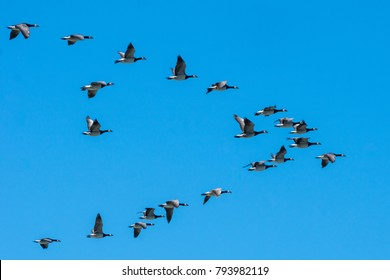Group of Canadian geese flying south in a nice plow formation on a clear autumn day with blue sky and sunshine