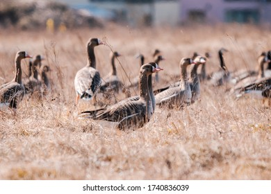 A group of canadian geese in a large field.