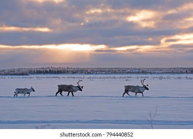 A group a caribous crossing a frozen lake during their fall migration in the James Bay area (Quebec, Canada).