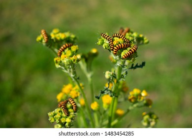 Group caterpillars of the Stagweed Bear (Tyria jacobaeae) Location: Germany, North Rhine-Westphalia, Borken