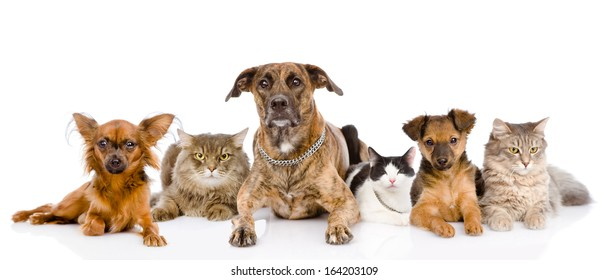 Group of cats and dogs lying in front. looking at camera. isolated on white background