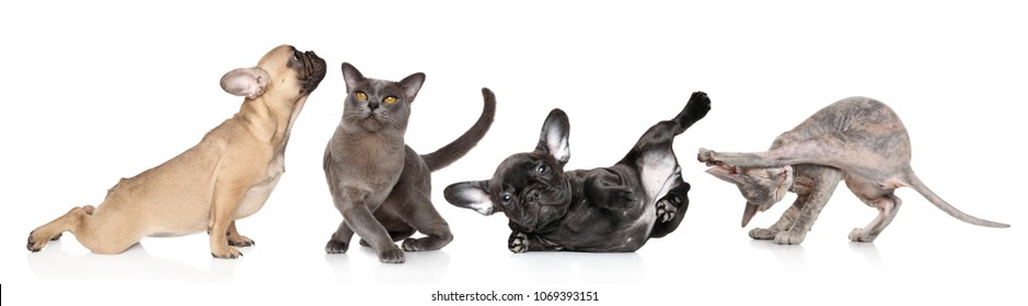 Group of cats and dogs in yoga poses on white background yoga aerobics dancing. Animal themes