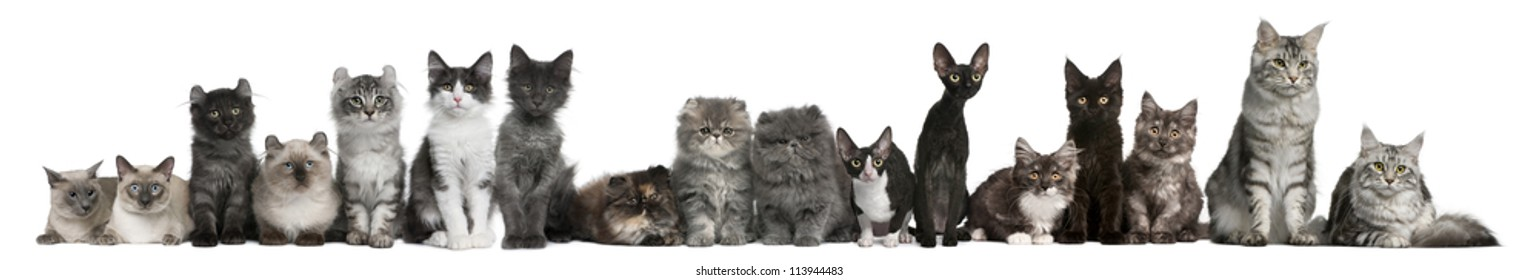 Group of cats in a row sitting in front of white background