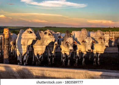 A group of cattle in confinement in Brazil