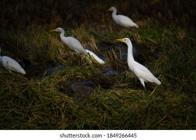 Group of Cattle Egret in paddy field