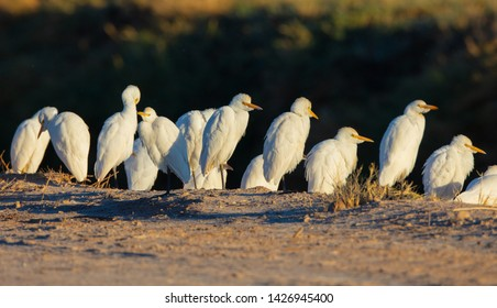 A group of cattle egrets (Bubulcus ibis) stand next a road at Salton Sea, California stand next a road at Salton Sea, California