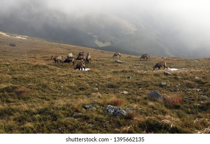group of chamois with white one feeding on mountain meadow with few stones bellow Derese mountain peak in autumn Nizke Tatry mountains in Slovakia