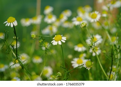 Group of Chamomile blossom in garden. Alternative medicine herbs. Scientific name Matricaria recutita, Matricaria chamomilla.