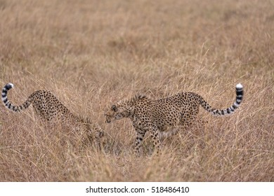 Group of cheetah feasting on impala kill, Masai Mara National Reserve, Kenya, East Africa