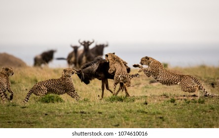 A group of cheetahs attacking a wildebeest