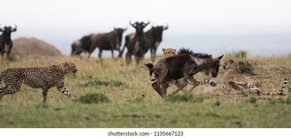 A group of cheetahs attacking a wildebeest in Masai Mara Game