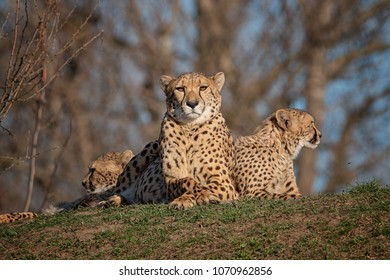Group of cheetahs likes a patrol looking around