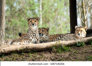 Group of cheetahs lying in shodow with goog view