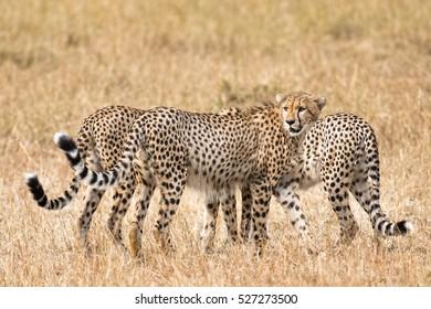 Group of  cheetahs, Masai Mara National Reserve, Kenya, East Africa