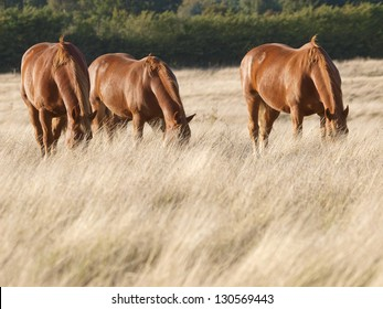 A group of  chestnut horses graze in a paddock.