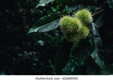 Group of chestnuts growing on a tree branch with some leaves around. Background out of focus. Chestnuts are enclosed in their green boxes with spines and with few drops of water on their surfaces.