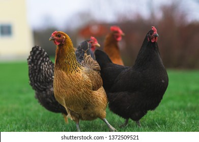 Group of chickens in back yard.