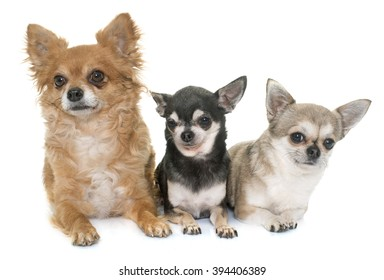 group of chihuahua in front of white background