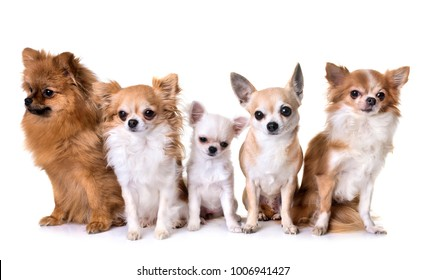 group of chihuahua and spitz in front of white background