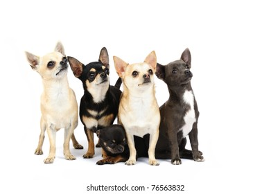 A group of chihuahuas in studio in front of a white background