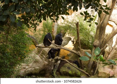 Group of Chimpanzee on mangrove branches
